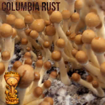 Psilocybe Cubensis Colombian Rust